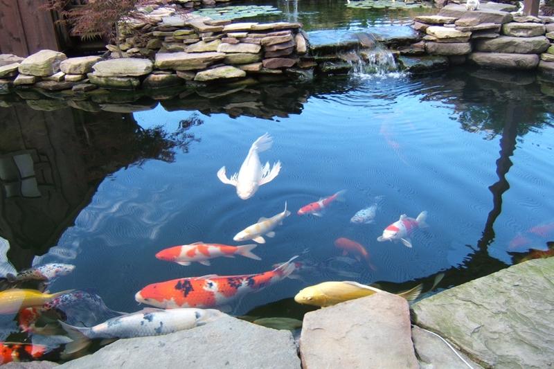 Koalm Ikan Koi Peliharaan Terbaik