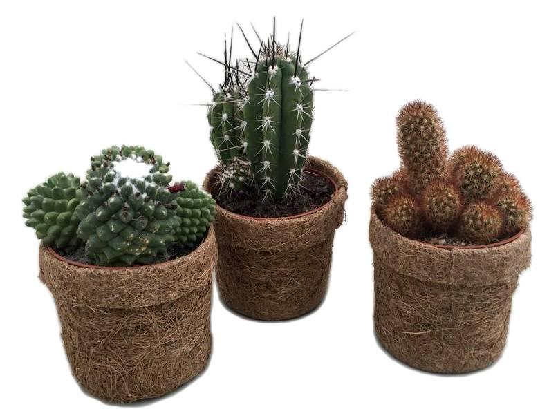 Tanaman Hias Daun Kaktus