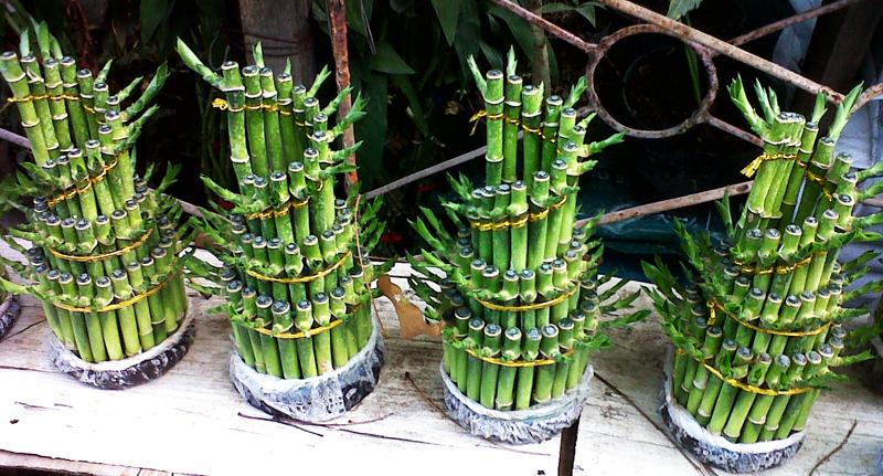 Tanaman-Bambu Hoki Pekarangan Rumah