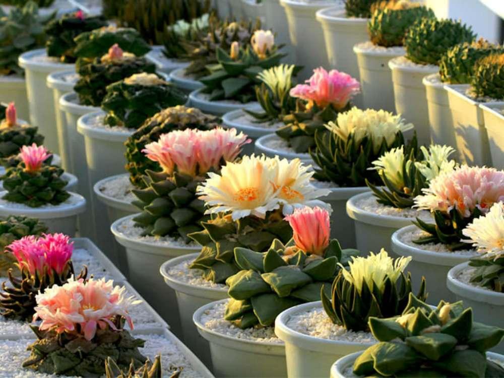 14 jenis kaktus mini yang harus dipunya pecinta tanaman. Black Bedroom Furniture Sets. Home Design Ideas