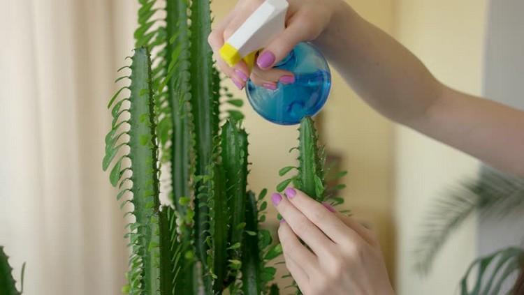 Aturan memberi air untuk kaktus