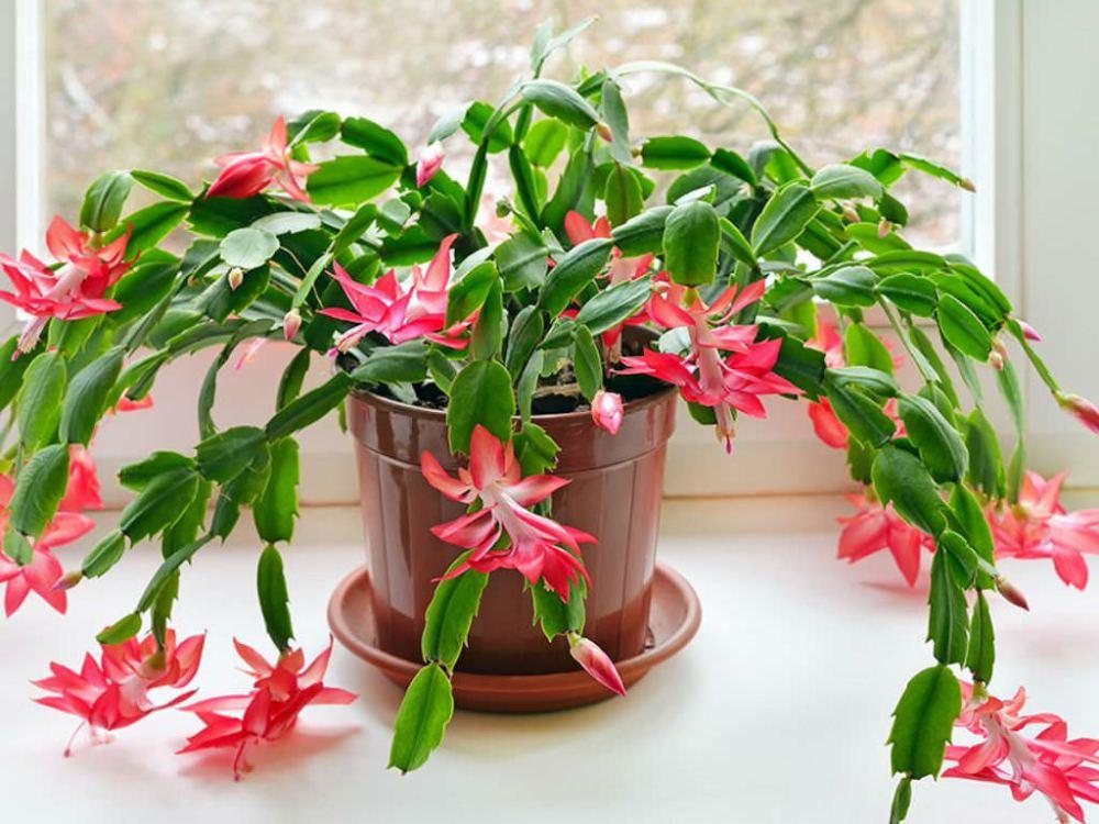 tanaman hias gantung zygocactus