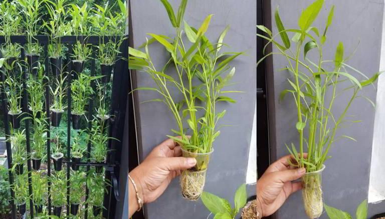 Tanaman Holtikultura Kangkung