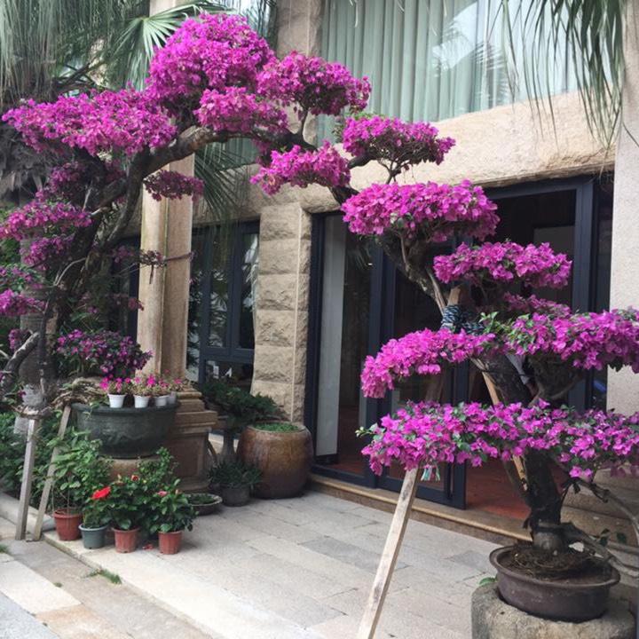 Contoh Gambar Bunga Bugenvil Jefar