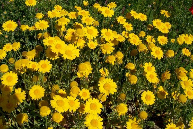 Bunga Krisan Segetum (Chrysanthemum segetum)