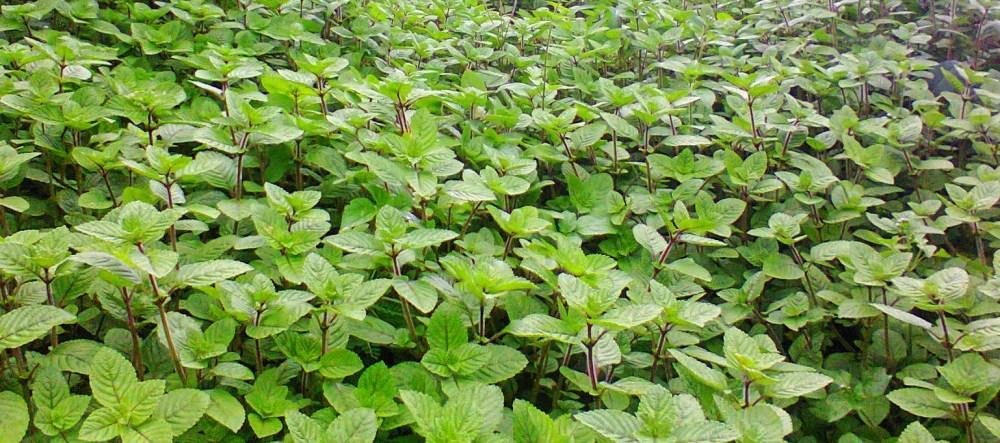 tanaman obat daun cincau
