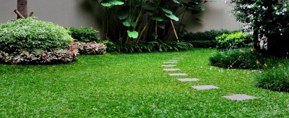 Jenis Rumput Gajah Mini pada Halaman Rumah