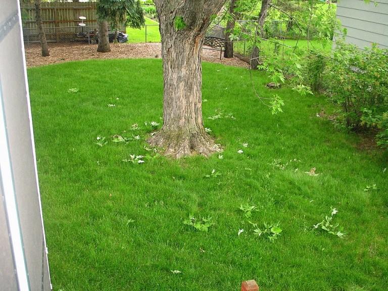 Jenis rumput Swiss pada halaman rumah