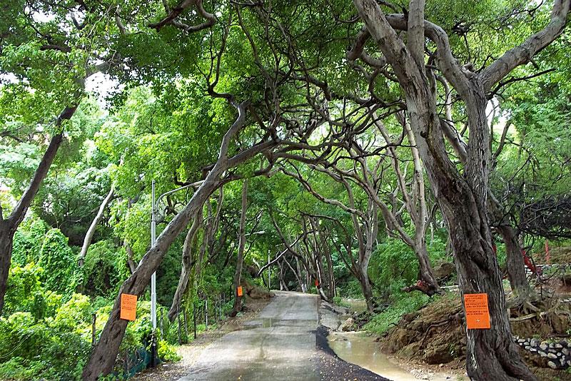 Hutan dengan pohon Machineel