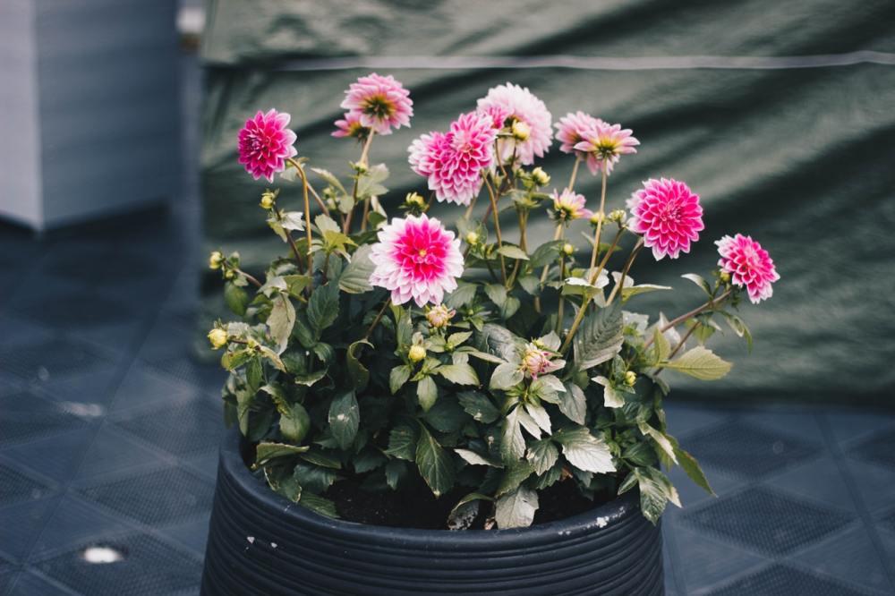 Bunga Krisan Carinatum (Chrysanthemum carinatum)