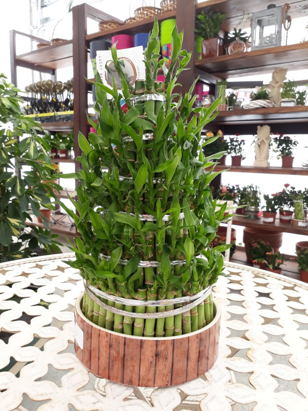 Tips Merawat Tanaman Bambu Rejeki