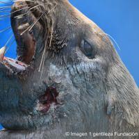 Denuncian muerte de un lobo marino por arma de fuego