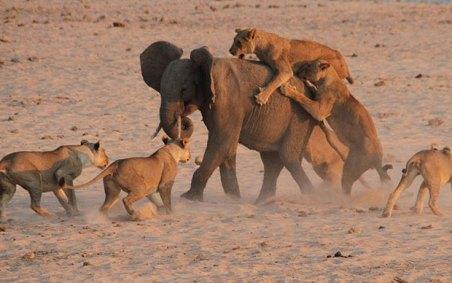 Elephant_outruns_p_3104803a