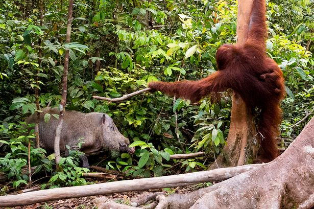 PAY-A-protective-mother-Orangutan-shoos-away-a-wild-boar-with-a-stick