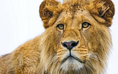 lion-eyes-wallpaper-207367