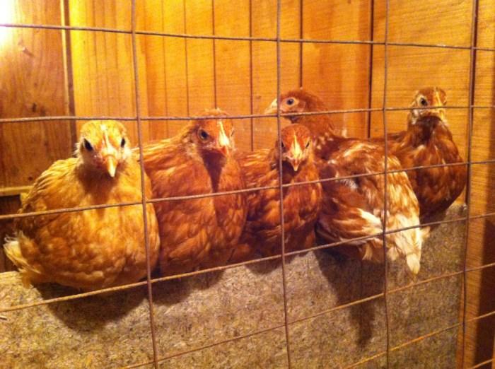 challenges of breeding golden comet chicken