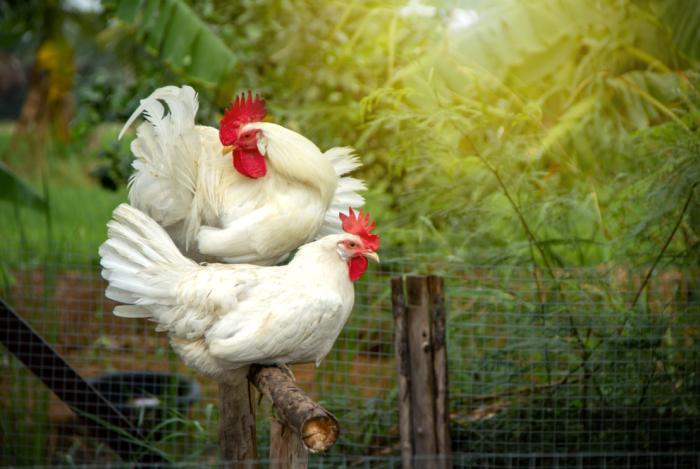 leghorn chicken history