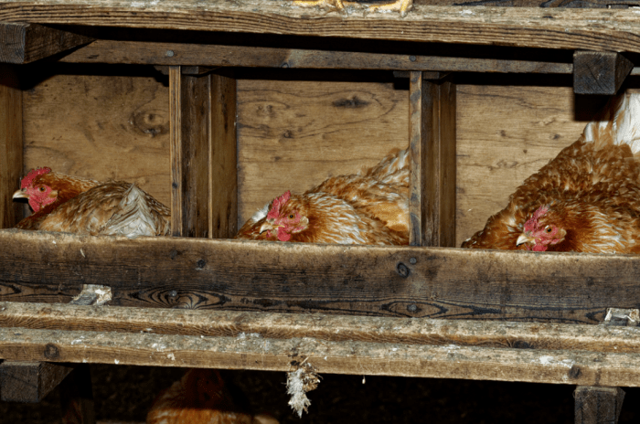 three chicken in nesting boxes