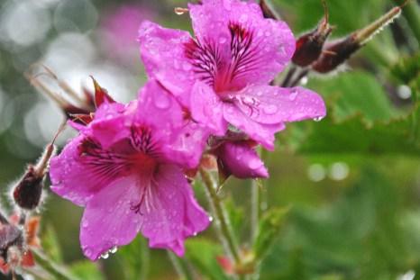 Fleur réunionnaise II (octobre 2011)