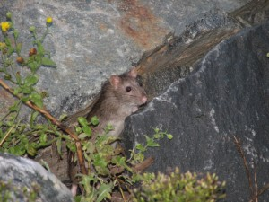 Ship rat, lewes, roosevelt inlet, delaware, county of sussex,