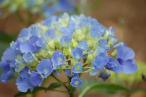 A young Hydrangea macrophylla - with lavender blooms and lime centers
