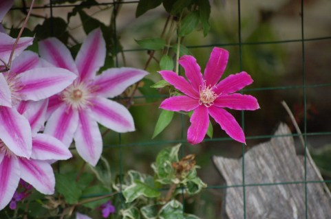 Love the variety of Clematis in one plant