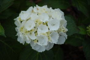 White macrophylla hydrangea, We thought we bought 7 of these, but only got two that look like this. I am actually happy about the mixup, for I think I had in mind the bigger Annabelle variety. These hydrangeas produe a softball size bloom and th white quickly produces brown edges.