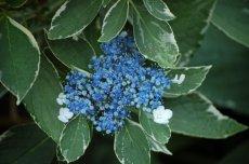 Hydrangea Macrophylla Maculata