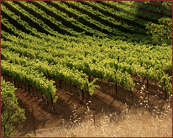 Vineyards in Summer