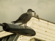 Seagull+