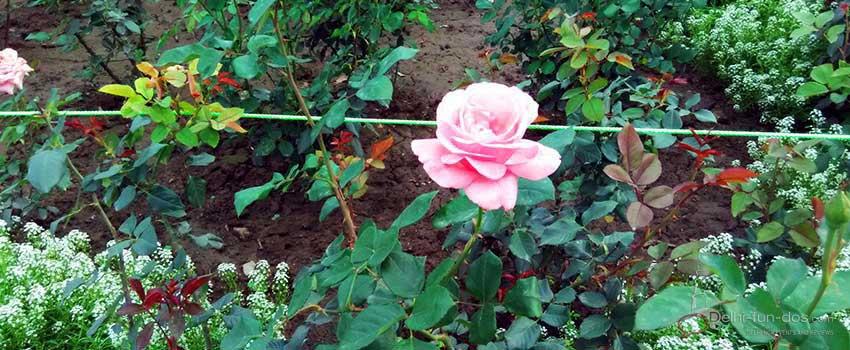 roses-at-mughal-gardens-president-at-rashtrapati-bhawan