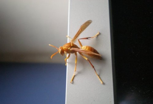 Wasp on computer