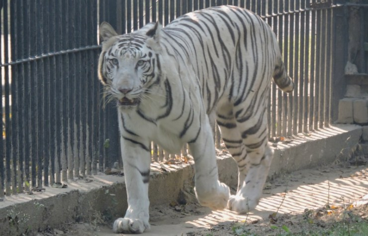 white-tiger-vijay-delhi-zoo