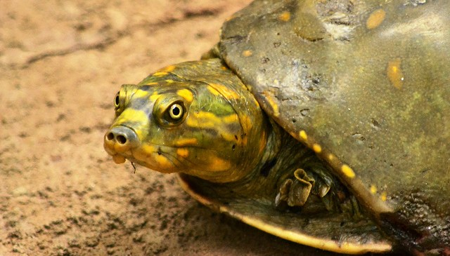 Turtle Sanctuary to be Set up at Allahabad under Namami Gange