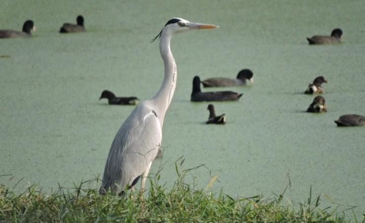 winters migratory bird heron