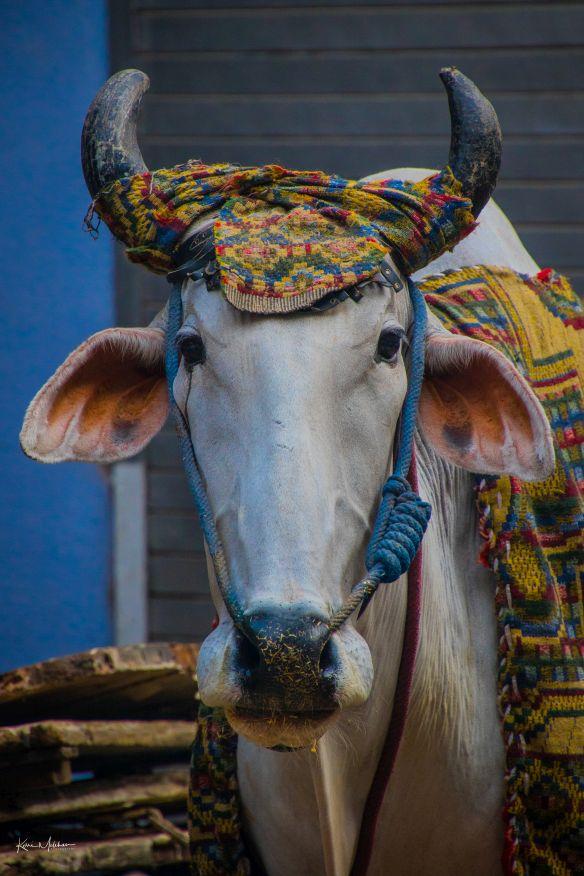 A bull on a bullock cart