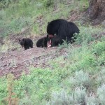 Bear and three cubs with a deer