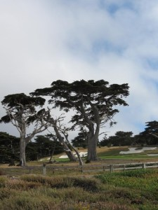 Cypress at Pebble beach
