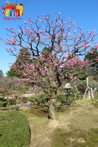 Kenrokuen blooming tree