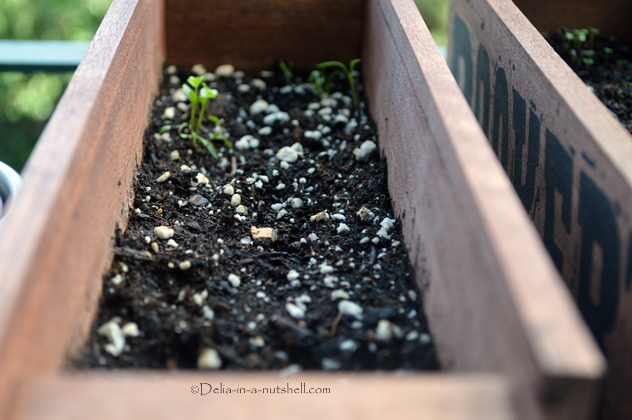 Parsley sprouts, almost 2 weeks after planting