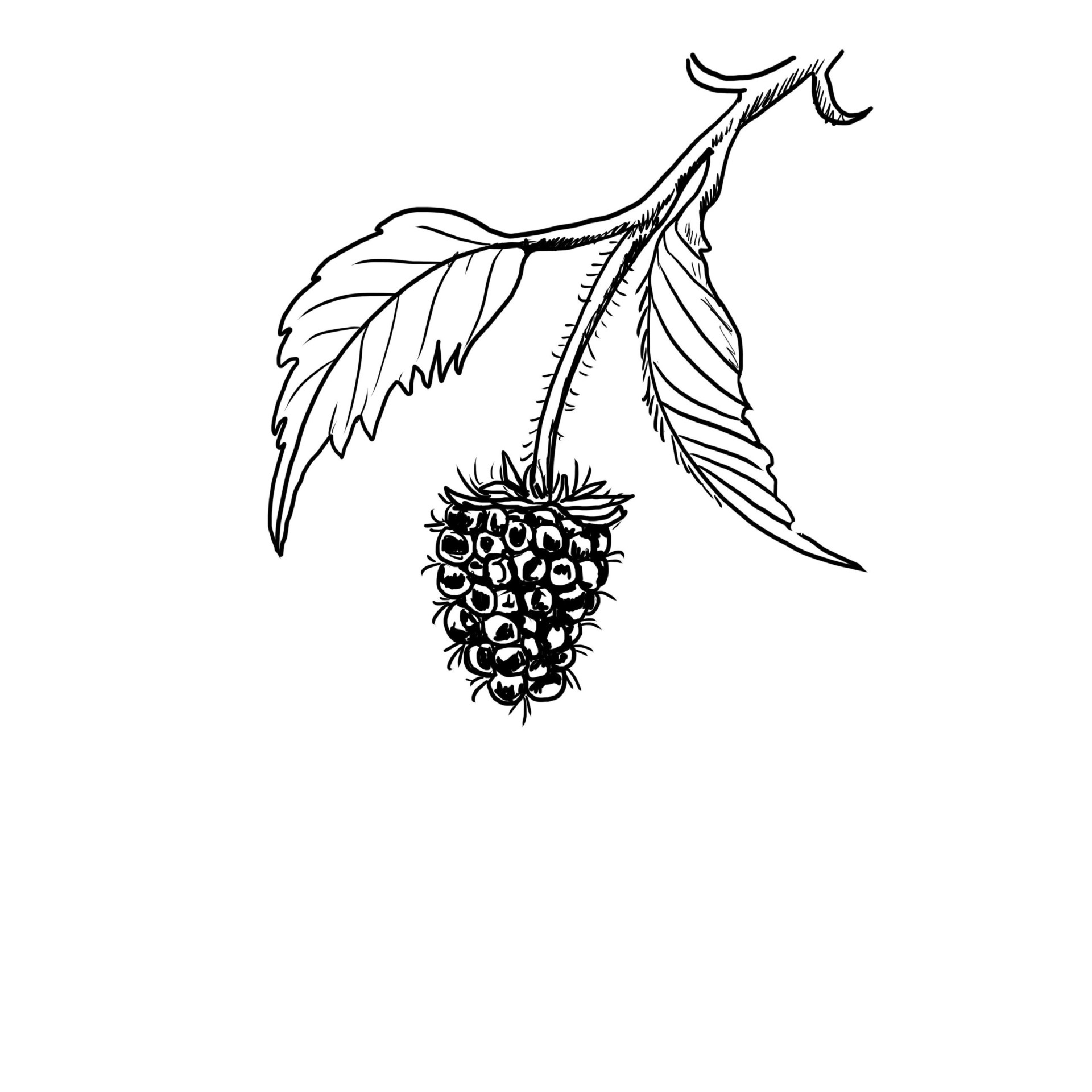 line drawing of a blackberry on the vine