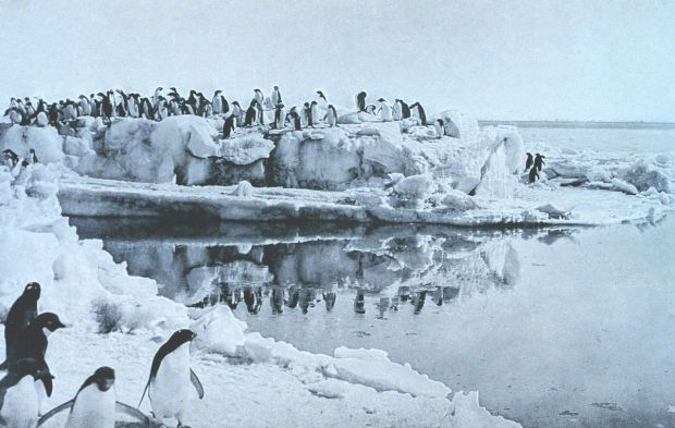 Adélie Penguins on the ice-foot at Cape Adare in the Antarctic