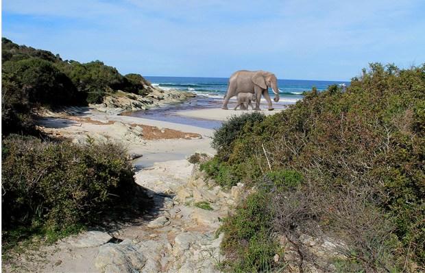 Deux éléphants sur une plage de Corse