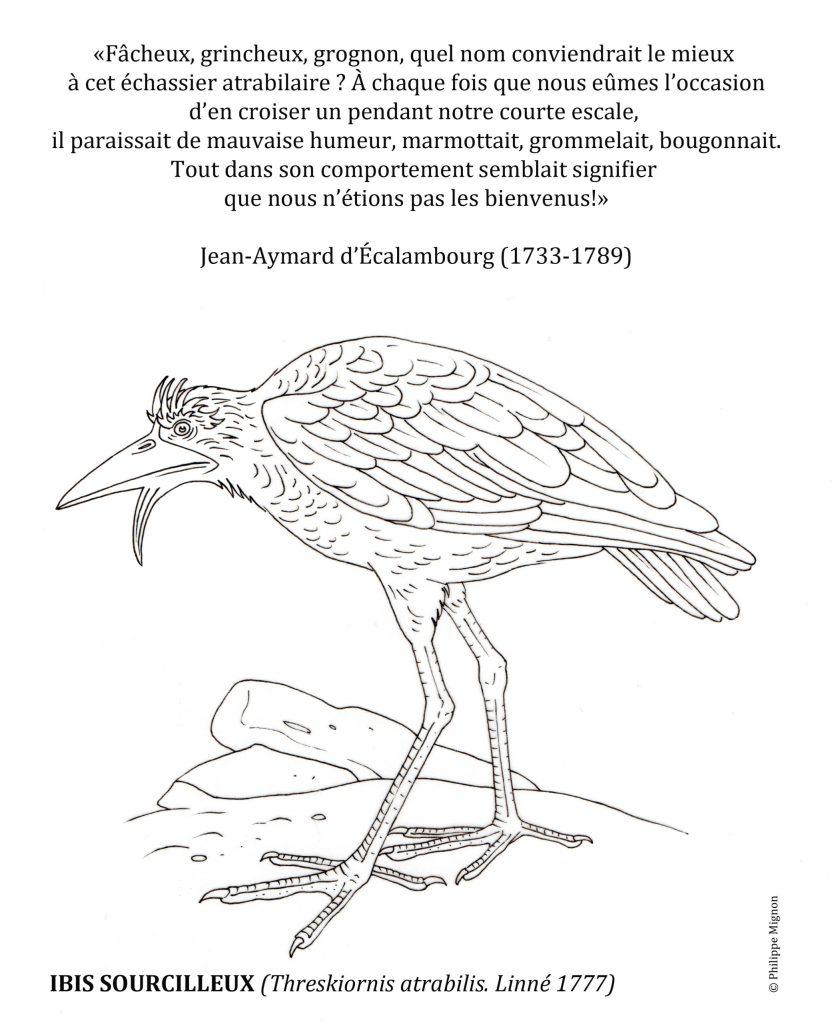 Coloriage - L'ibis sourcilleux © Philippe Mignon