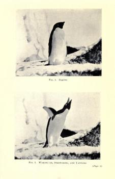 Que l'on ne se méprenne pas, derrière son apparence policée, le manchot est un fou furieux. Photo : George Levick. in Antarctic penguins ; a study of their social habits, by Dr. George Murray Levick, Zoologist to the British Antarctic Expedition [1910-1913], William Heinemann Ed., London, 1914.