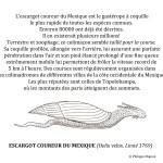 L'escargot coureur du Mexique © Philippe Mignon