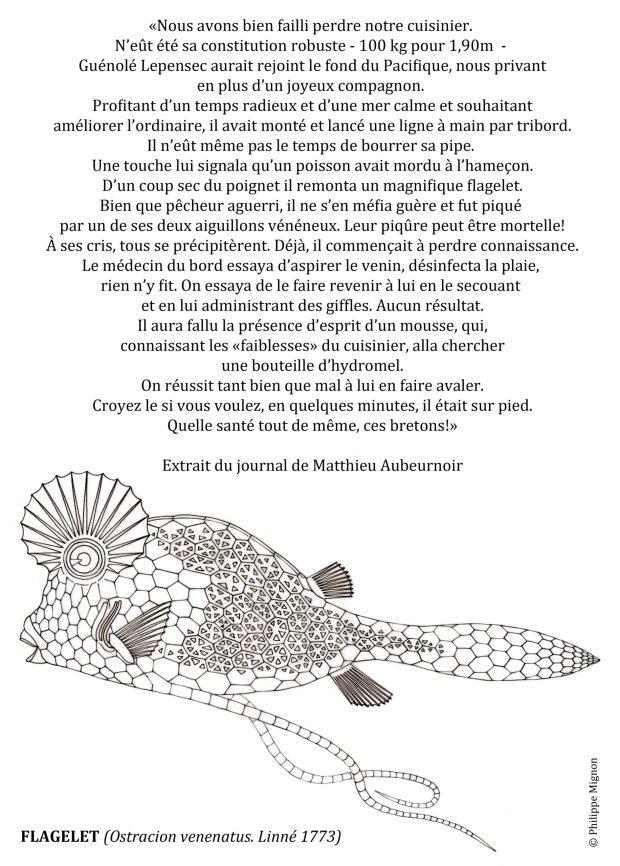 Coloriage - Le flagelet © Philippe Mignon