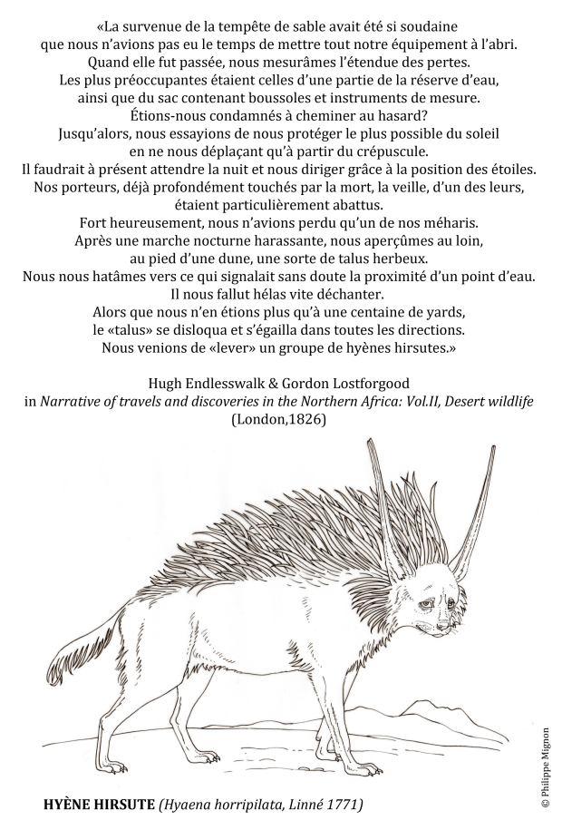 Coloriage – La hyène hirsute © Philippe Mignon
