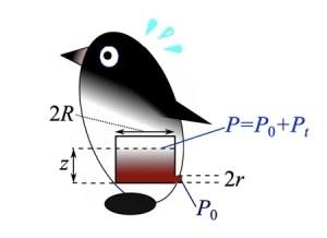 Schéma de la pression rectale du manchot