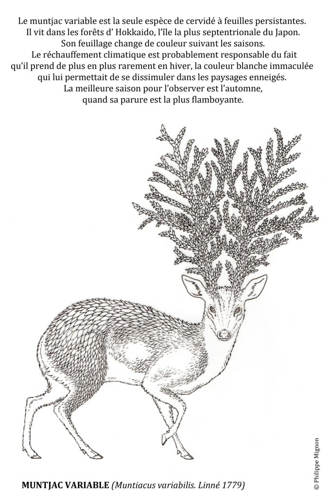 Coloriage - Le muntjac variable © Philippe Mignon